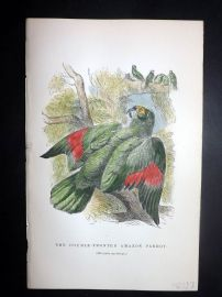 C. W. Gedney 1888 Antique Hand Col Bird Print. Double-Fronted Amazon Parrot
